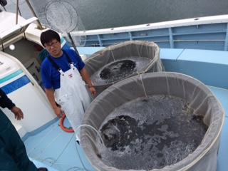 ヒラメの稚魚放流